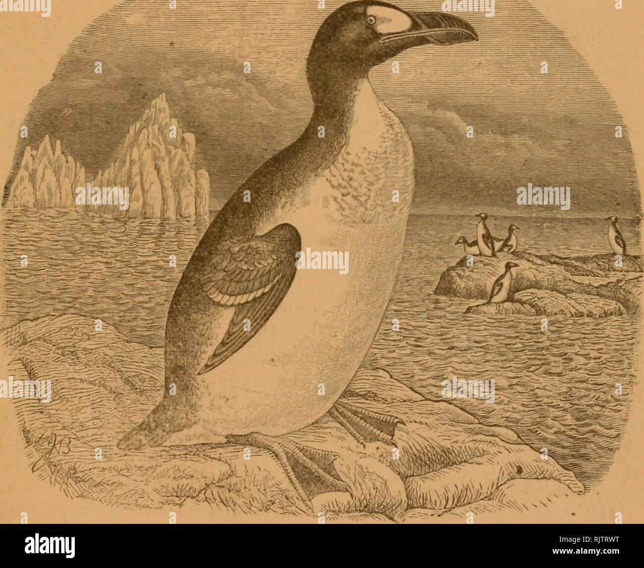 . The Auk. Birds. 0ld | CONTINUATION OF THE f New ''â 'xv j BULLETIN OF THE NUTTALL ORNITHOLOGICAL CLUB Series' Vol Vol. VII The Auk 3 flhiartcrl? Journal of £>rmtI)ology Vol. VII -JANUAUT, 1890 No. 1. PUBLISHED FOR The American Ornithologist NEW YORK Li. S. FOSTER,. Please note that these images are extracted from scanned page images that may have been digitally enhanced for readability - coloration and appearance of these illustrations may not perfectly resemble the original work.. American Ornithologists' Union. Washington, D. C. : American Ornithologists' Union, etc. - Stock Image