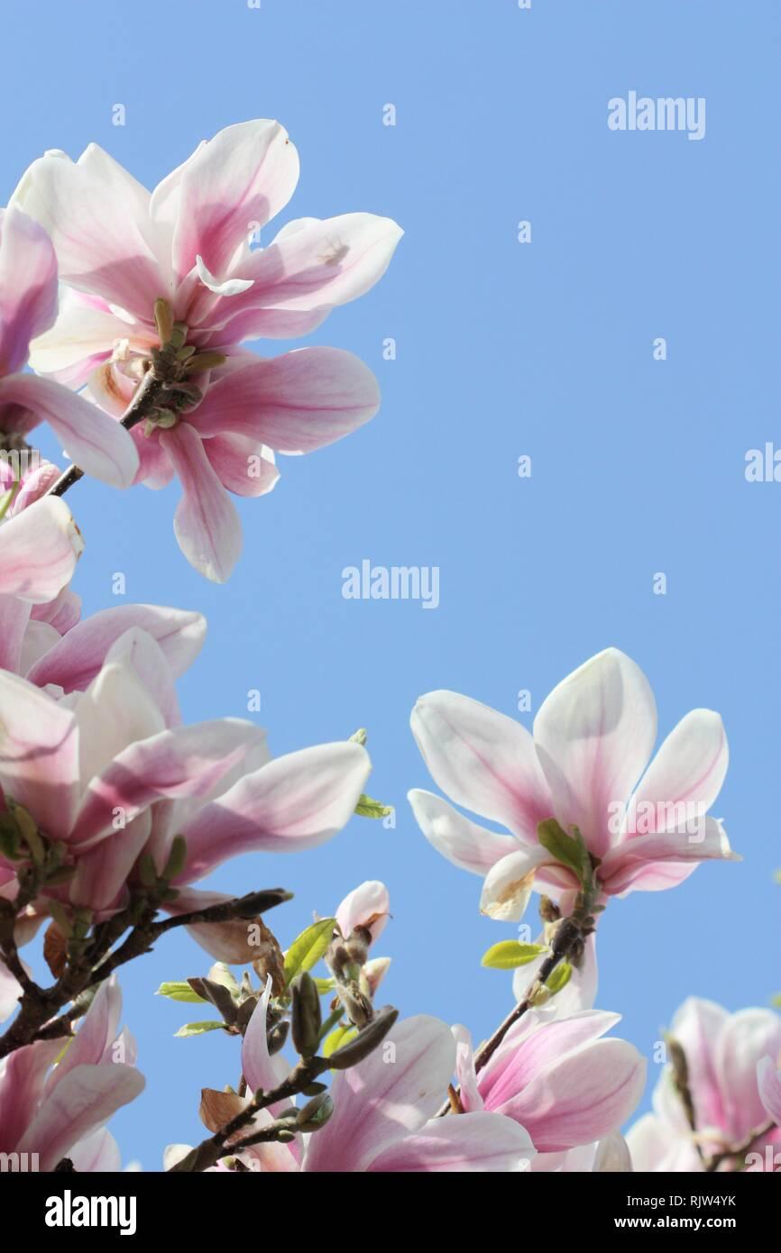Pink magnolia flowers Stock Photo