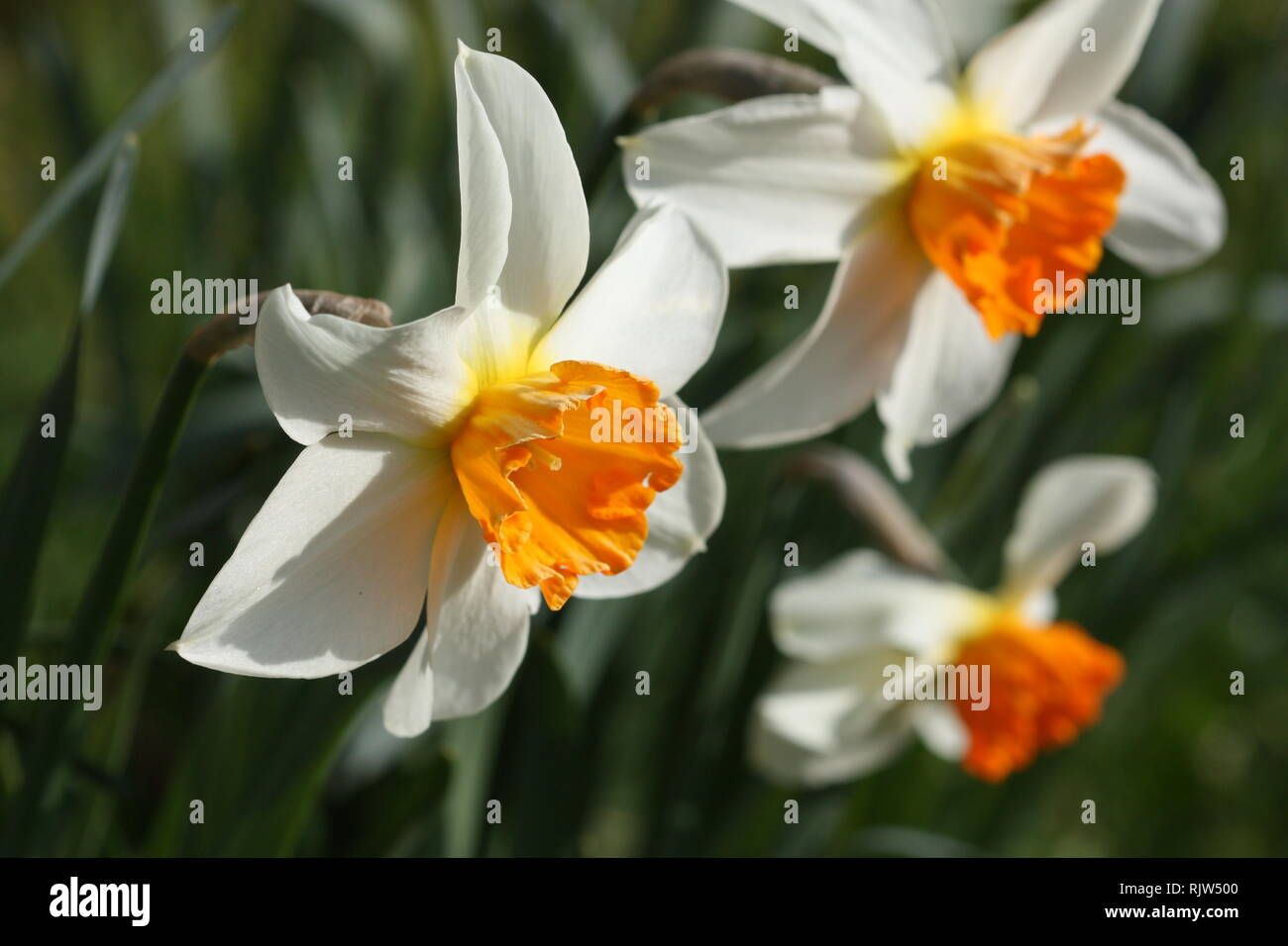 White daffodil flowers Stock Photo