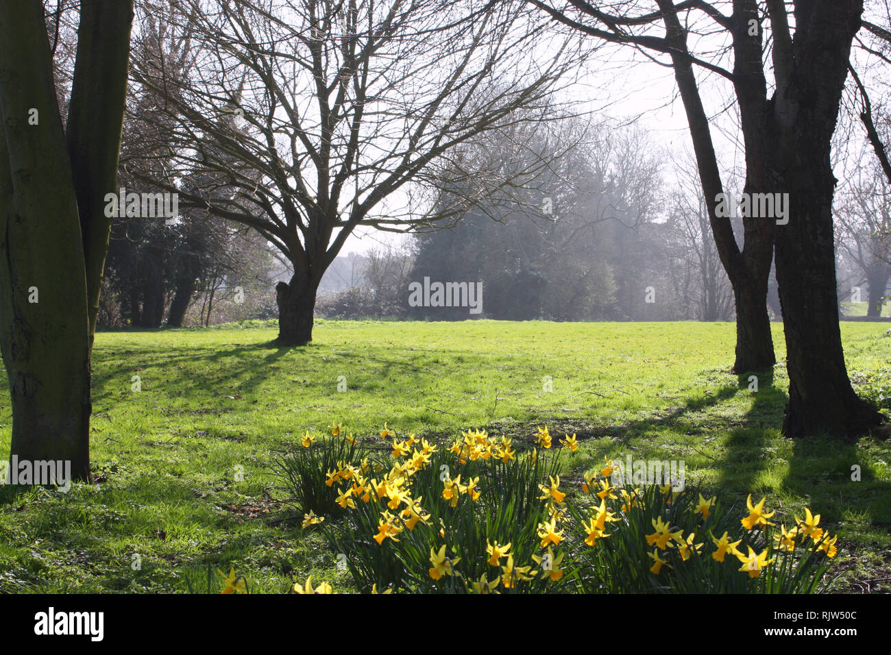 Daffodil blooms in a park in spring season Stock Photo