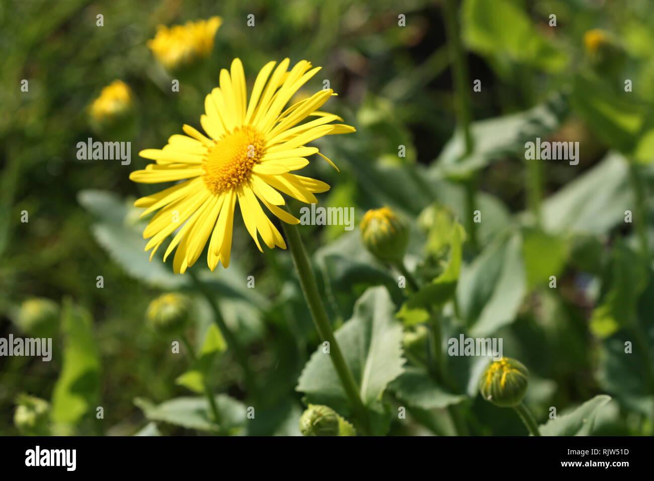 Yellow daisy flowers Stock Photo