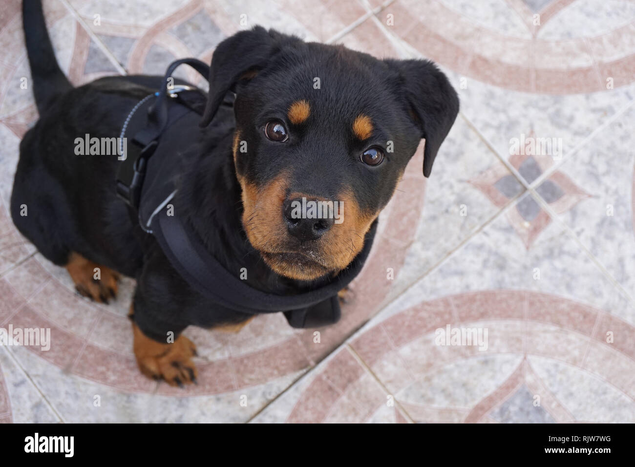 A very professional dog who loves to pose - Stock Image