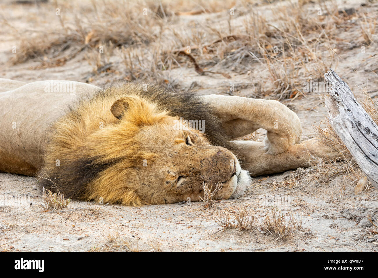 A male Lion having a snooze in Southern African savanna - Stock Image