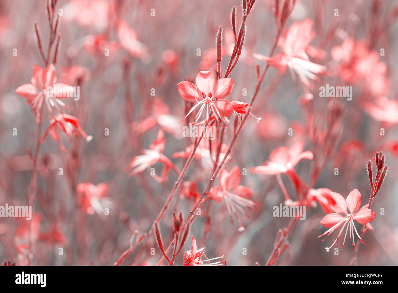 Small flowers of coral color   ( Siskiyou Pink Gaura)  in the sunlight at summer morning.  Toned image. Selective focus. - Stock Image