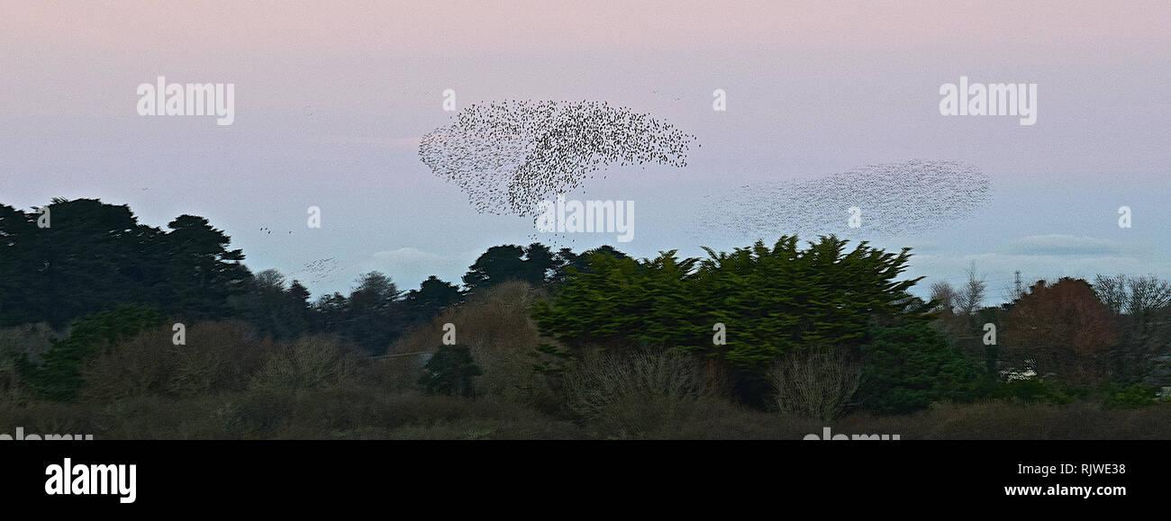 St. Ives & Starling murmuration, Cornwall, 030117 - Stock Image