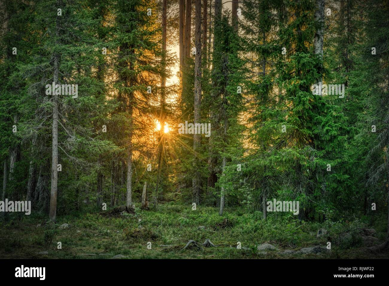 Sun star shining through trees, coniferous forest, Suomussalmi, Kainuu, Finland - Stock Image