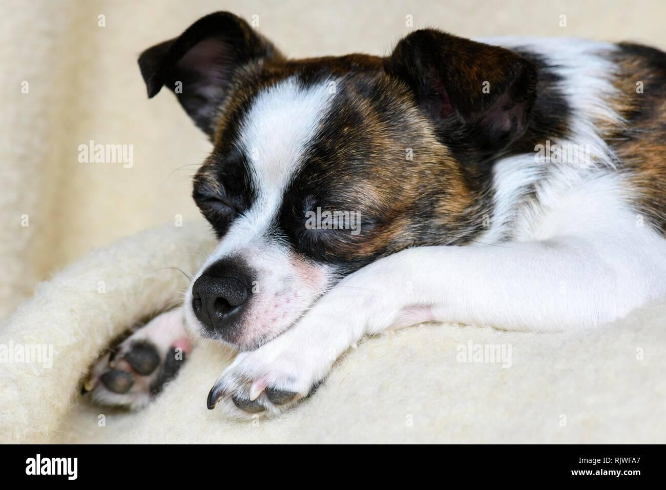 Little Chihuahua Dog, sleeping, animal portrait, Germany - Stock Image