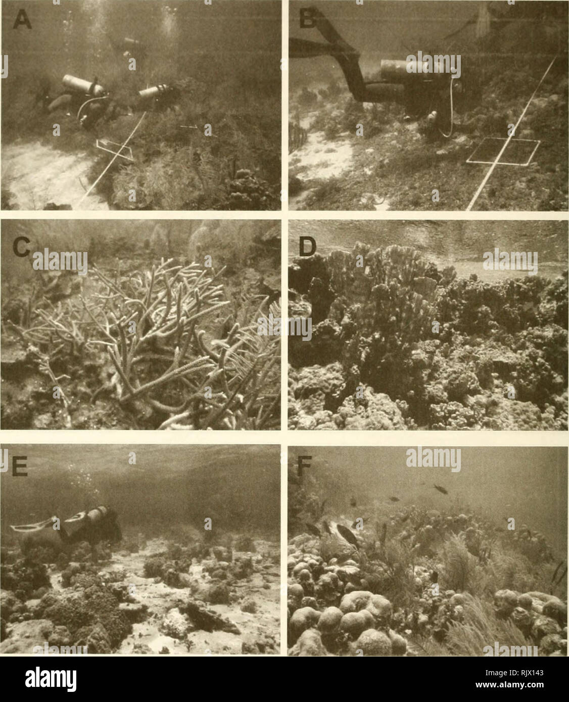 . Atoll research bulletin. Coral reefs and islands; Marine biology; Marine sciences. 26. Figure 14. Serrana Bank environments. A. Leeward terrace; B. lagoon basin with Lobophora variegata mat; C. Acropora cervicornis on the leeward terrace; D. Millepora complanata on top of A. palmata reef; E. shallow lagoonal patch reefs; F. Montastraea annularis in the lagoon and gorgonians (Pseudopterogorgia bipinnata).. Please note that these images are extracted from scanned page images that may have been digitally enhanced for readability - coloration and appearance of these illustrations may not perfect - Stock Image