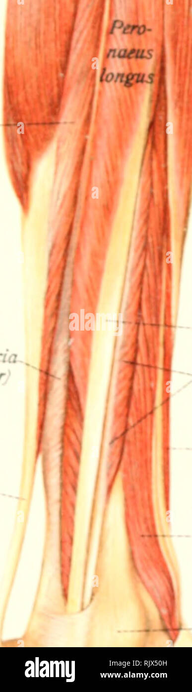 Atlas And Text Book Of Human Anatomy Anatomy Atlases Tendon Of