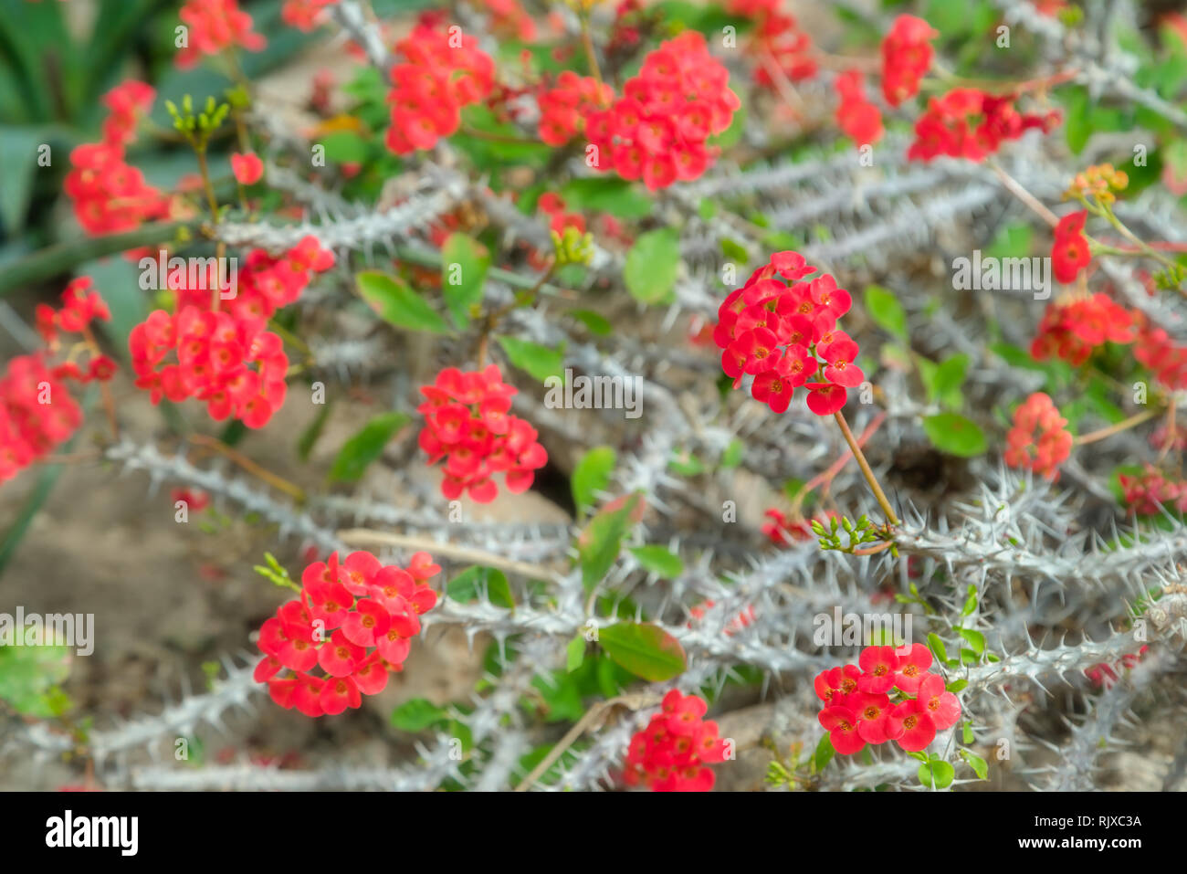 Beautiful blooming red cactus flowers. Close up of white cactus spines background in botanic garden - Stock Image