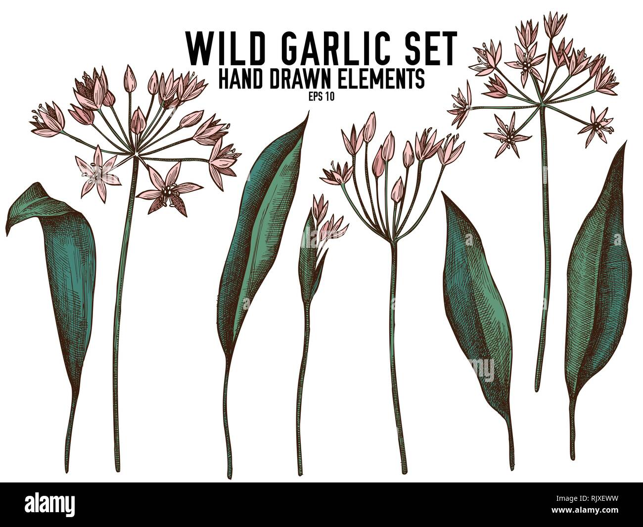 Vector collection of hand drawn colored  wild garlic - Stock Vector