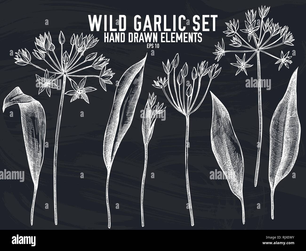 Vector collection of hand drawn chalk wild garlic - Stock Vector