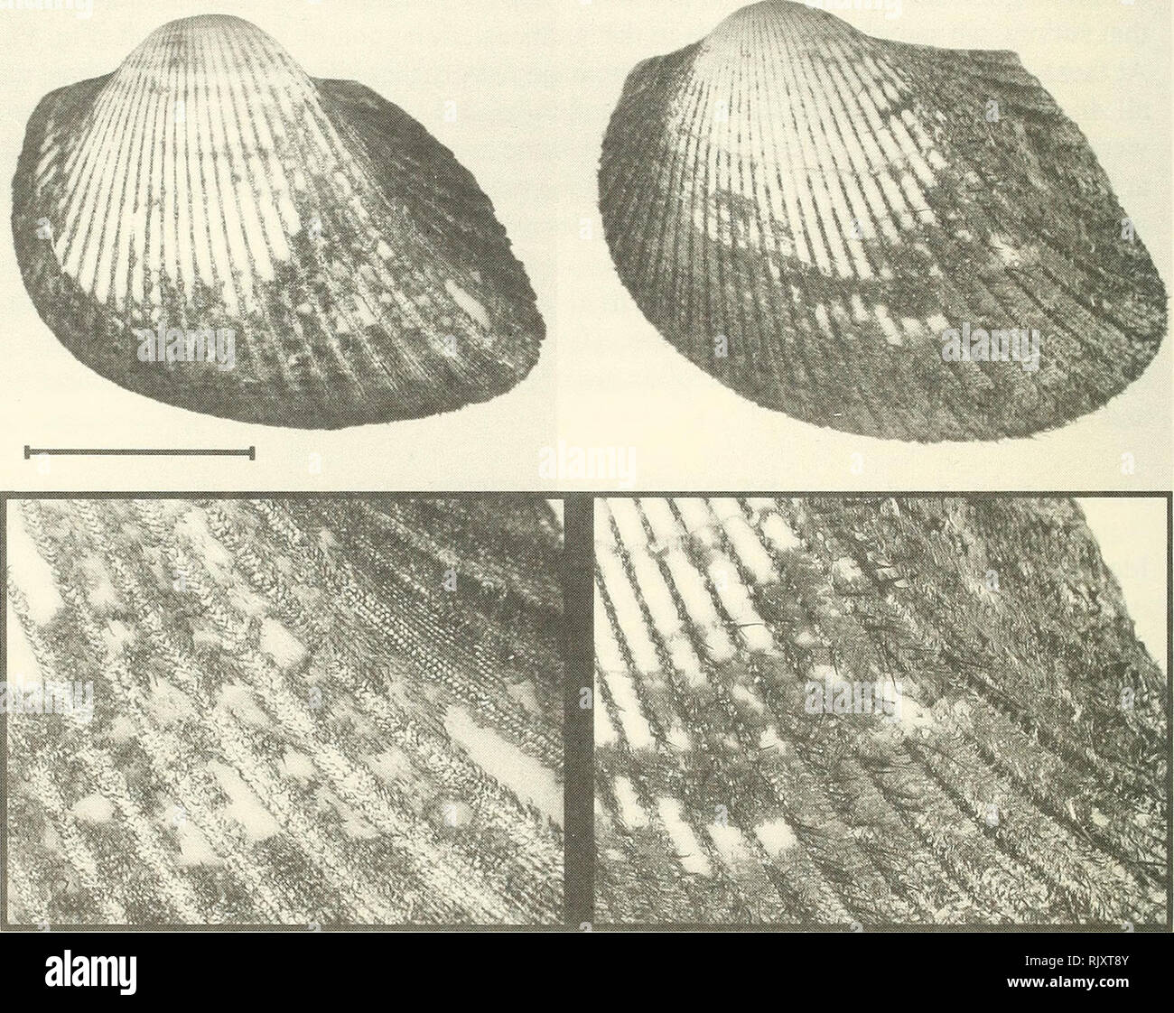 . Atoll research bulletin. Coral reefs and islands; Marine biology; Marine sciences. 4. The shell of A. antiquata is less inflated, more posteriorly produced (umbo lying relatively more anteriorly), and has the posterior slope gently demarcated. In contrast, the posterior slope of A. uropigimelana is offset by a strong break in slope from the rest of the shell. Anadara antiquata has 35-39 ribs among the samples we examined compared with 31-35 in A uropigimelana.. Figure 2. Anadara uropigimelana (left, Tarawa, UF 282607; Tarawa) and Anadara antiquata (right, UF 282606, Tonga). Scalebar: 2 cm. B - Stock Image