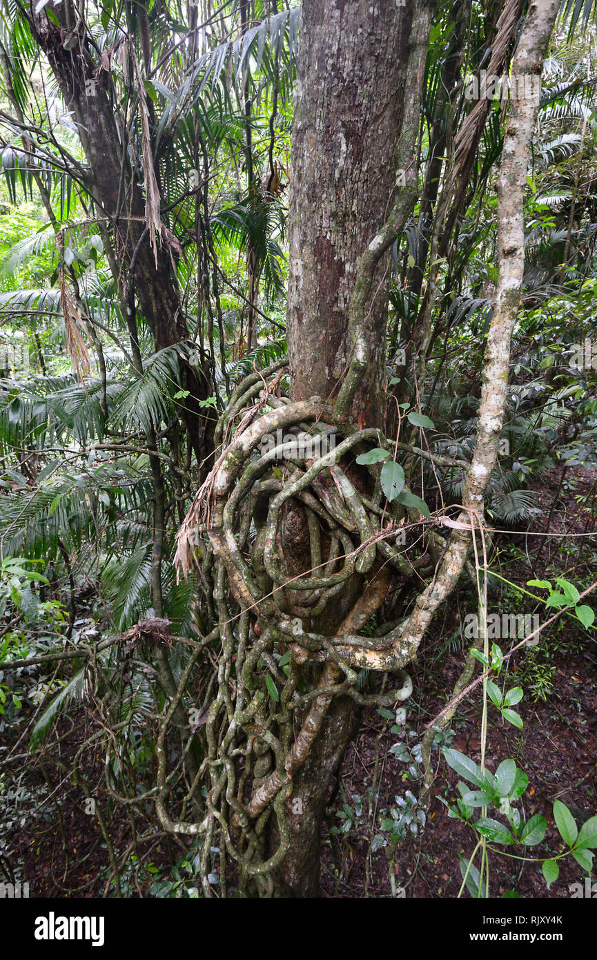 Entertwinned lianas in tropical rainforest at Barron Falls National Park, Far North Queensland, FNQ, QLD, Australia - Stock Image