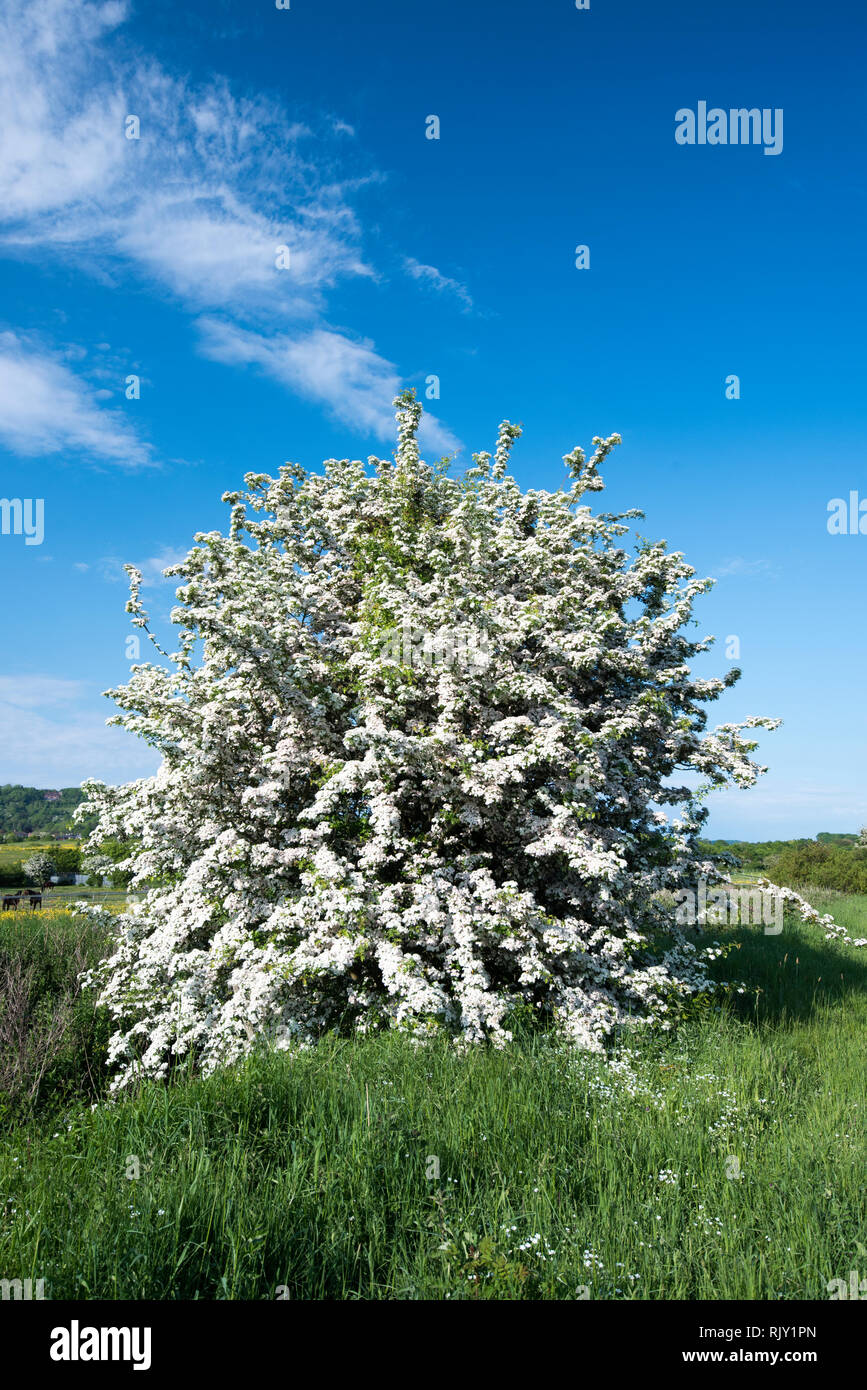 A Hawthorne tree in full bloom in the English countryside - Stock Image