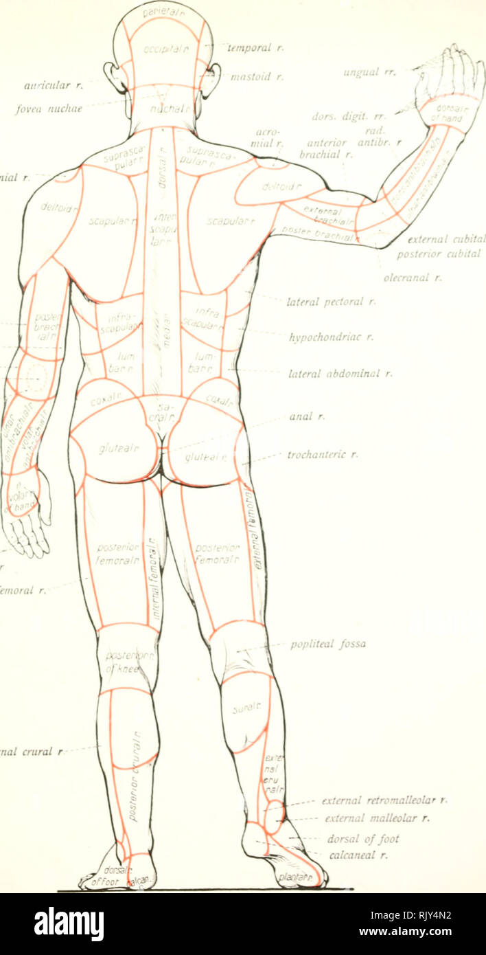 . Atlas and text-book of human anatomy. Anatomy -- Atlases. auricular r. fovea nucliae acromial r external brachial r internal brachial r external cubital r. olecranal r. posterior cubital r volar digital rr external femoral r. external crural r external cubital r posterior cubital r. external retromalleolar r. external malleolar r. dorsal of foot calcaneal r. Fig. 23J. Regions of the human body.. Please note that these images are extracted from scanned page images that may have been digitally enhanced for readability - coloration and appearance of these illustrations may not perfectly resembl - Stock Image