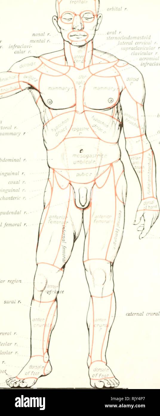 . Atlas and text-book of human anatomy. Anatomy -- Atlases. par^era/r )ci< volar dii^ital rr. anterior nasal cti bilal orbital r. oral r. sternocleidomastoid Jateral cen-ical r. â¢- upracla vicu la r r. clavicular r acromial r. y middle cubital r. olecranal r. post brachial r. axillary fossa lateral pectoral r. injramammary r lateral abdominal r. inguinal r. coxal r. subinguinal r. trochanteric r. suroi r. internal cm rat r. internal retromallcolar r. internal malleolar r. calcaneal r. digital rr. of foot^ uncti.il rr.. infraclavicular r. external brachial r. anterior ubital '. external cu - Stock Image