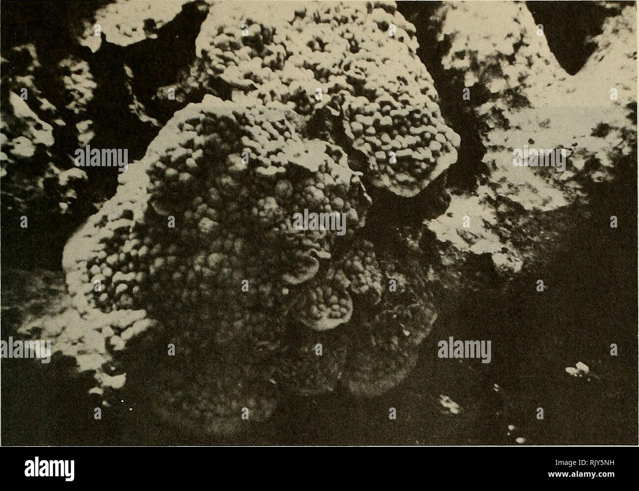 . Atoll research bulletin. Coral reefs and islands; Marine biology; Marine sciences. Plate 14 Plate like growth of Porites astreoides. â¢â¢^v ^1 * i y 'yfc >* â â * . Plate 15 Bladed Millepora complanata and branched alcicornis on Patch Reef II.. Please note that these images are extracted from scanned page images that may have been digitally enhanced for readability - coloration and appearance of these illustrations may not perfectly resemble the original work.. Smithsonian Institution. Press; National Research Council (U. S. ). Pacific Science Board; Smithsonian Institution; National Muse - Stock Image