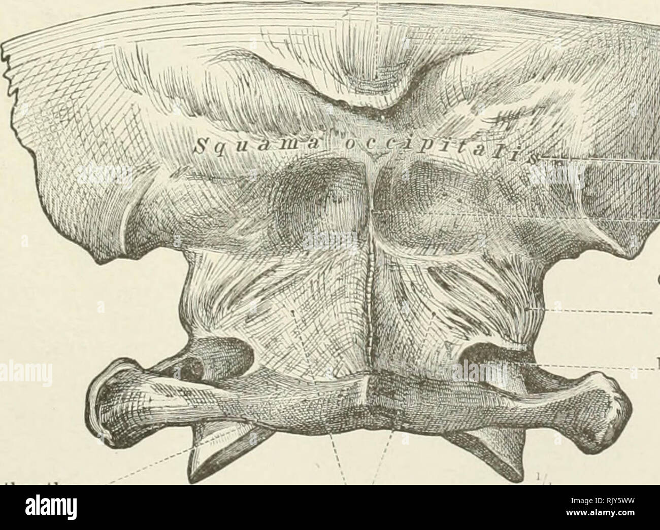 An Atlas Of Human Anatomy For Students And Physicians Anatomy Spinous Process Of The Sphenoid Bone Spina Angularis Tympanic Plate 1 Ars Tympanica Styloid Process Processus Styloideus Anterior Occipito Atlantal Ligament Membrana Atlanto Occipitalis Synchondroses (anatomy) a joint in between articulating bones in which the connecting medium is a cartilage that is eventually converted into bone before. https www alamy com an atlas of human anatomy for students and physicians anatomy spinous process of the sphenoid bone spina angularis tympanic plate 1ars tympanica styloid process processus styloideus anterior occipito atlantal ligament membrana atlanto occipitalis anterior fig 423antep or occipito atlantal ligament and petrobasilar synchondrosis the atlas with the posterior portion of the base of the skull seen from before external occipital protuberance piotuberantia occipitalis externa posterior arch of the atlas arcus posterior atlantis mi nvw squamous portion of jar ne occipital bone exter image235395941 html