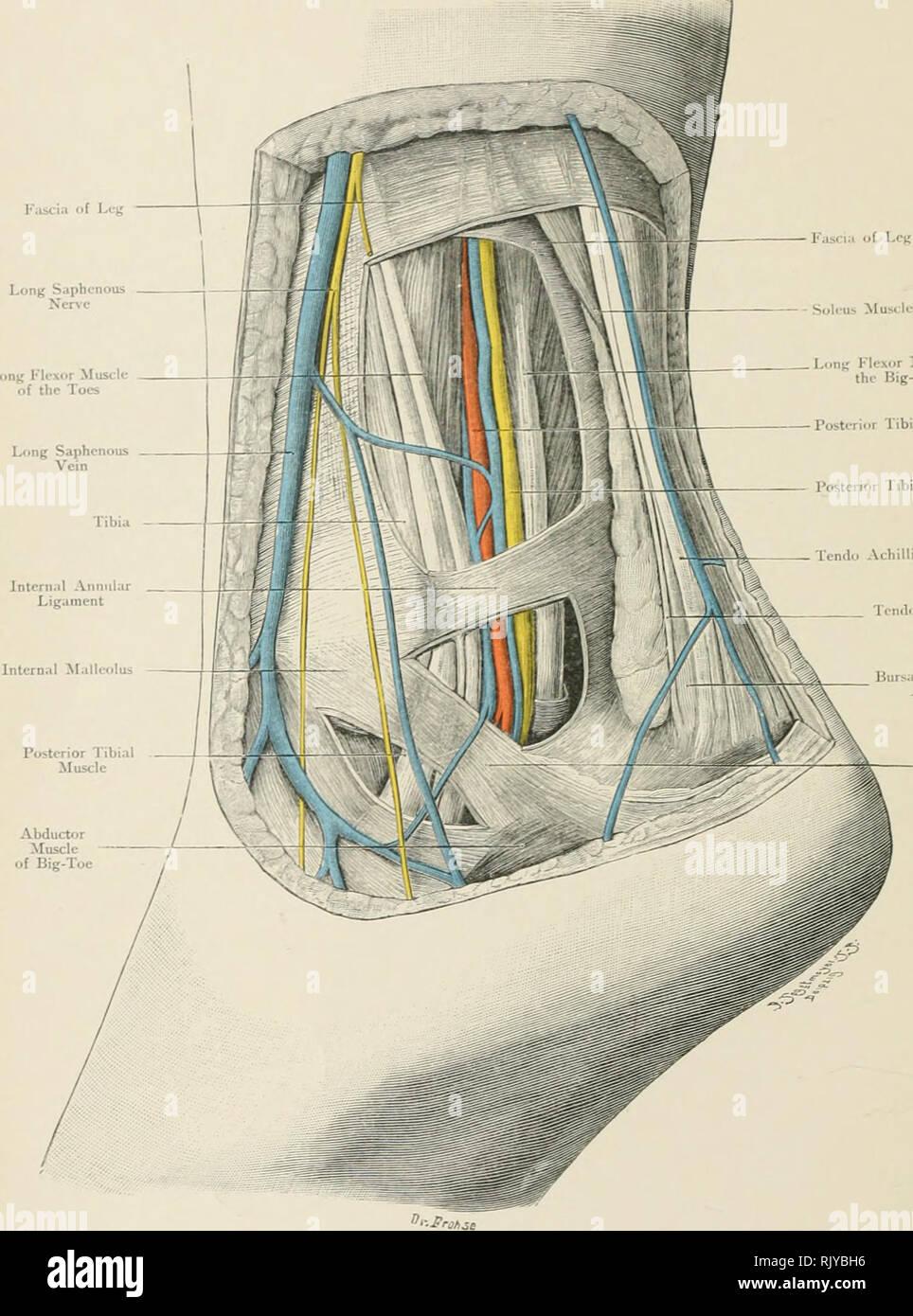 Posterior Tibial Artery Stock Photos Posterior Tibial Artery Stock