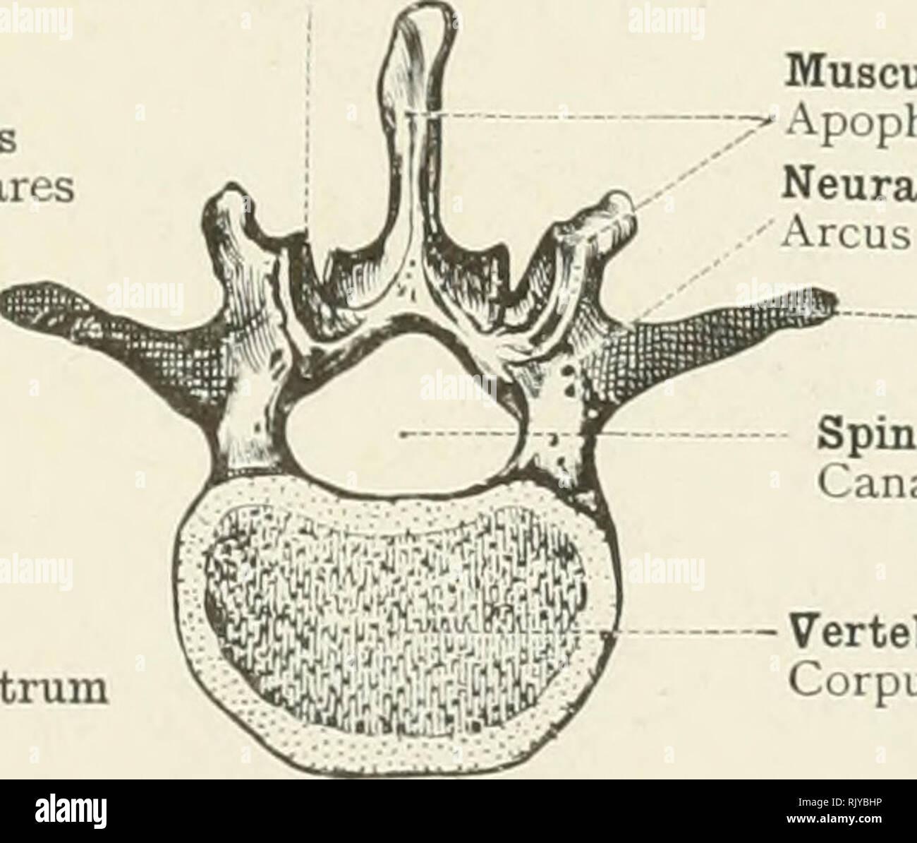 Vertebral Arch Vertebrae Anatomy Tollebild