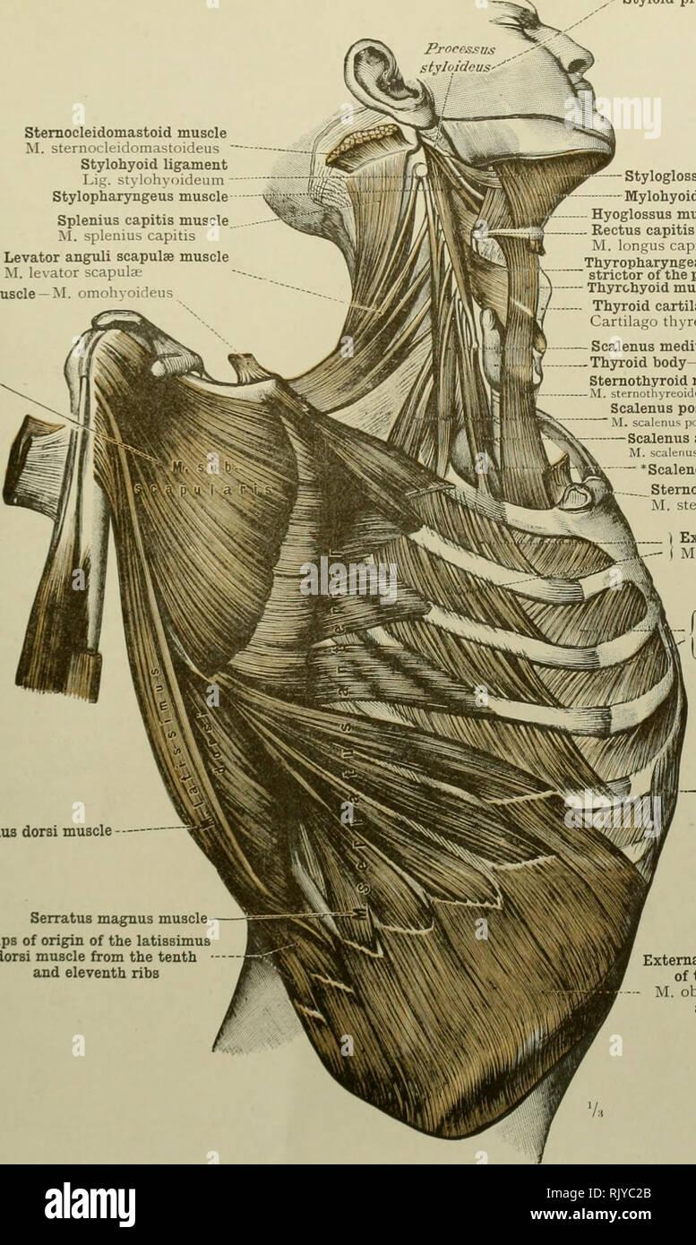 Sternocleidomastoid Muscle Stock Photos Sternocleidomastoid Muscle