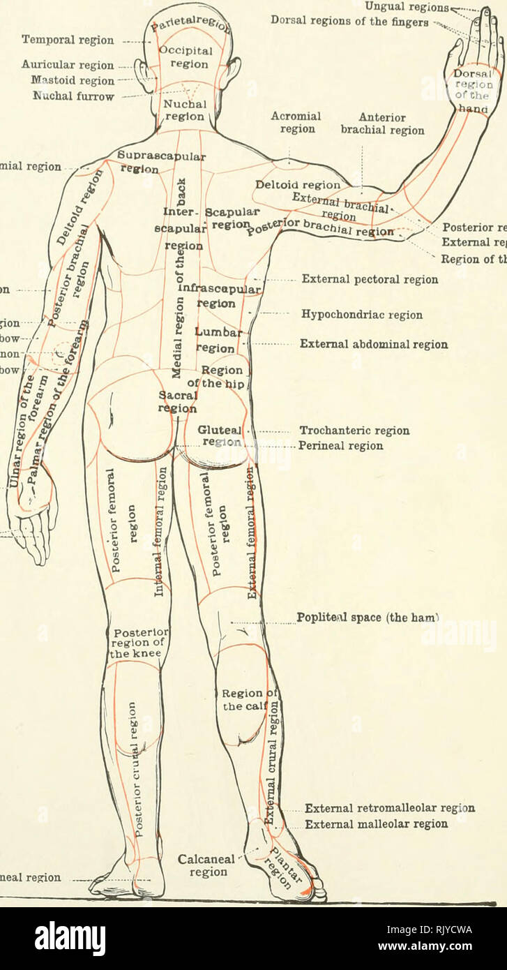 An Atlas Of Human Anatomy For Students And Physicians Anatomy The