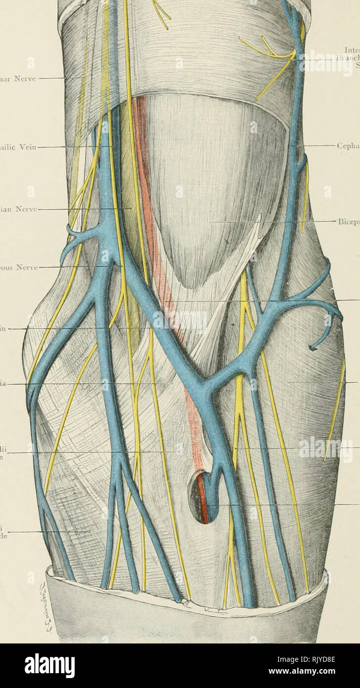 Supinator Muscle Stock Photos Supinator Muscle Stock Images Alamy