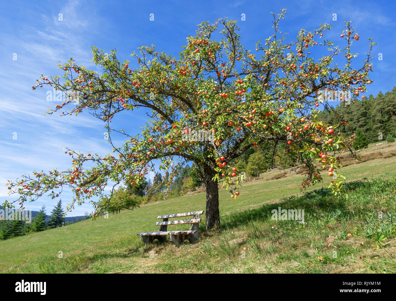 Apple tree with red apples in autumn Stock Photo