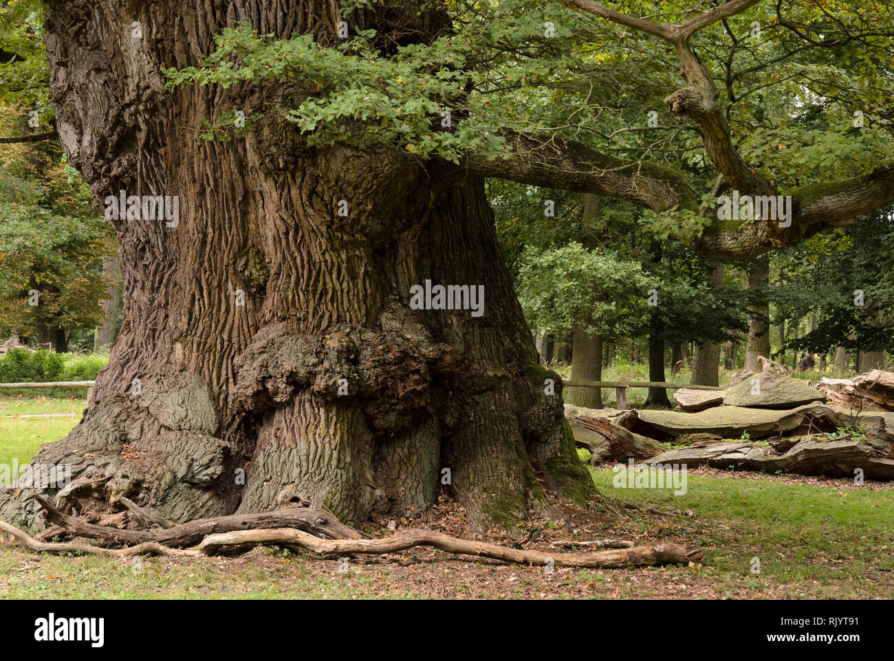 Oaktrees at Ivenack 'Ivenacker Eichen' Mecklenburg-Pomerania, Germany - Stock Image