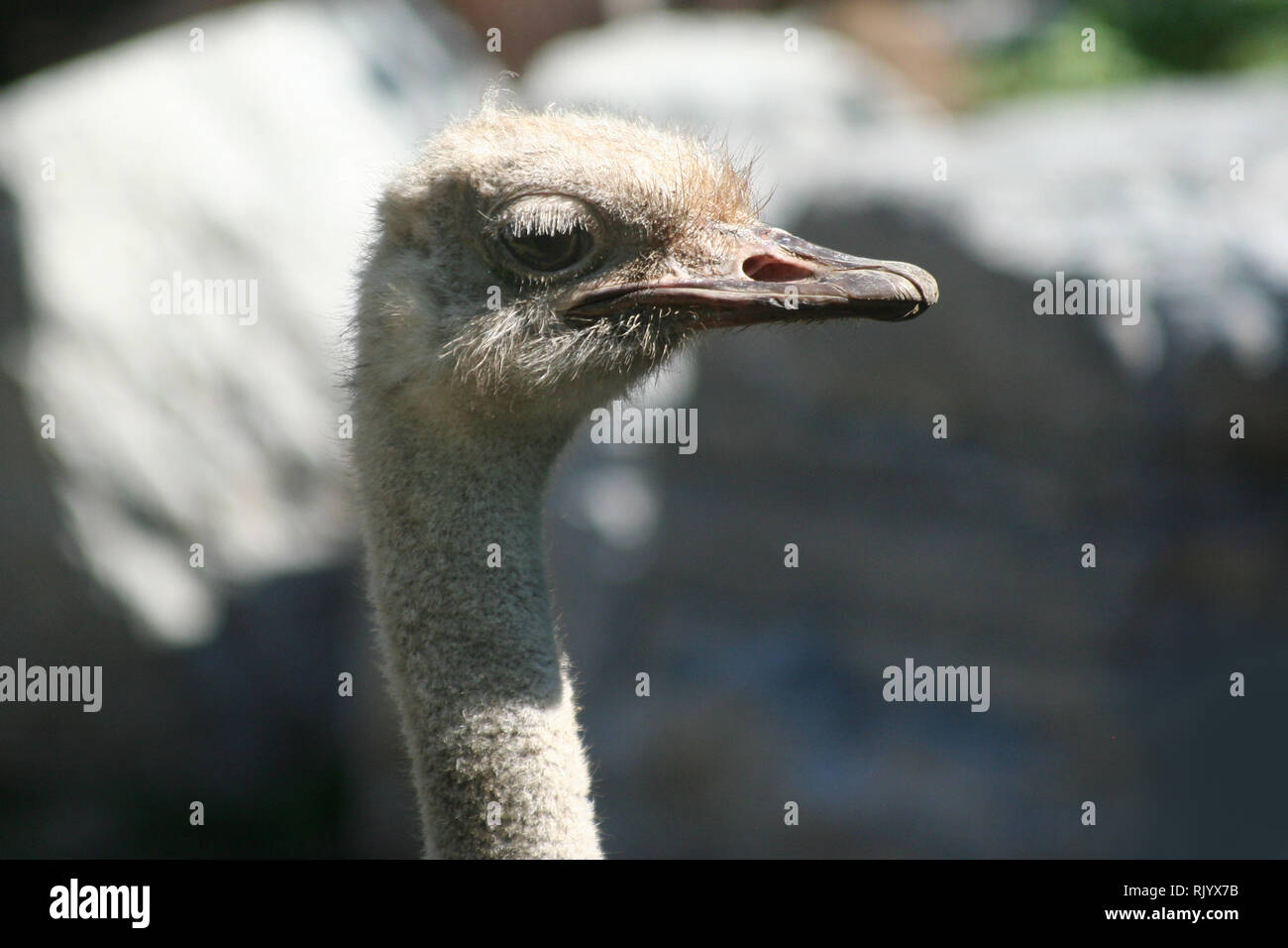 Ostrich in zoo in Bowmanville Ontario Stock Photo