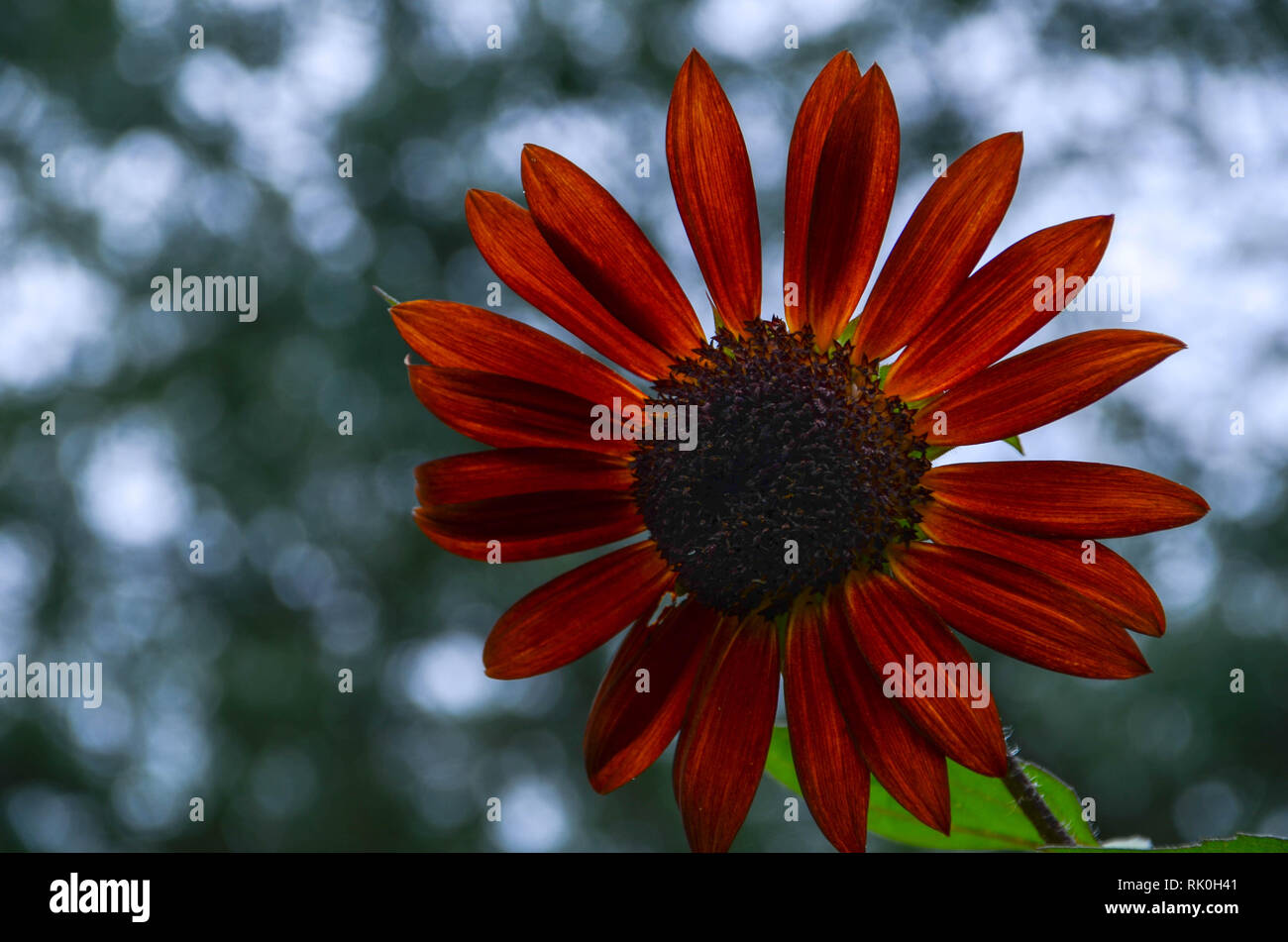 One reddish sunflower with blurred background - Stock Image