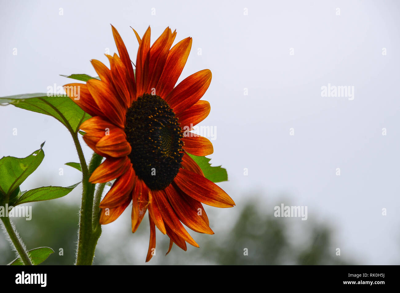 Side view of a sunflower - Stock Image