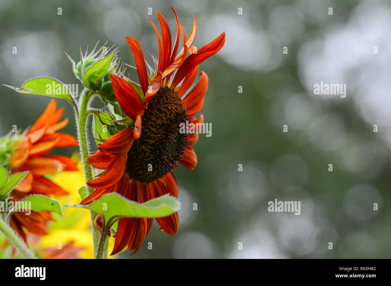 Side view of red sunflower on blurred background - Stock Image
