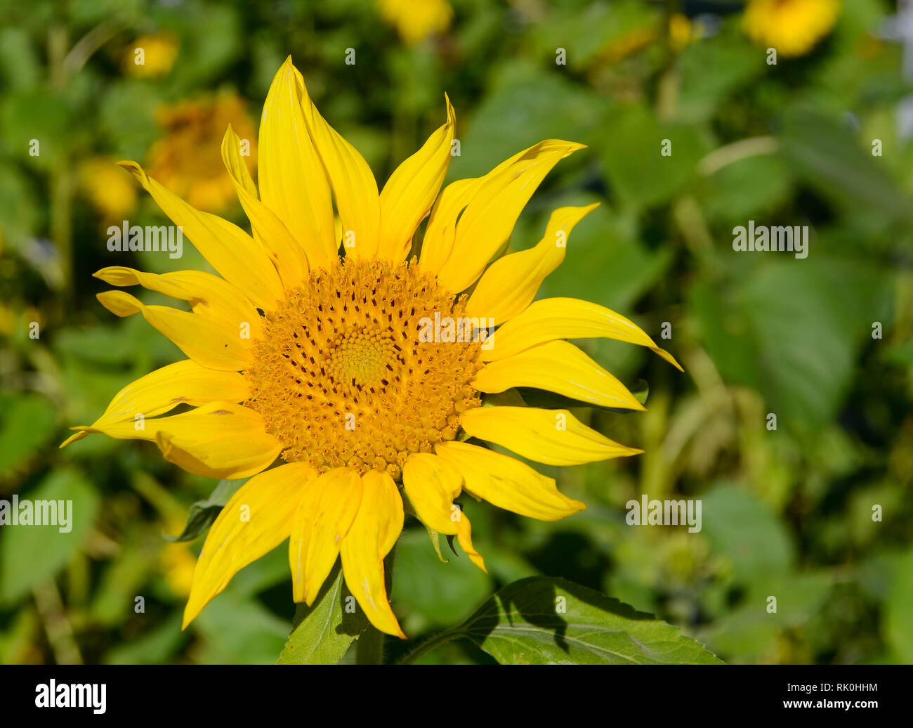 Small sunflower on blurred background - Stock Image