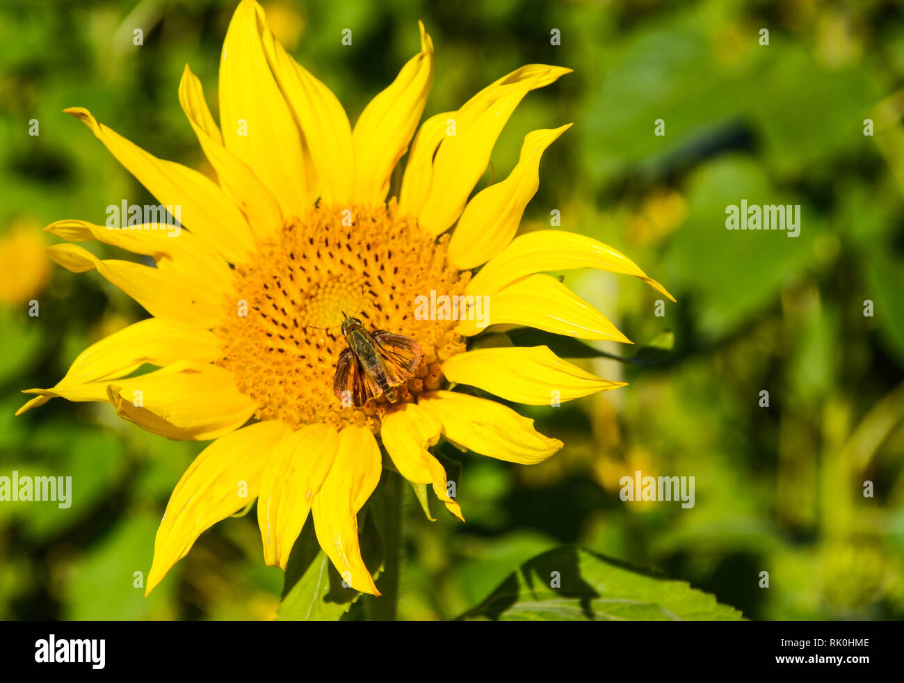 Yellow sunflower with insect on blurred background - Stock Image