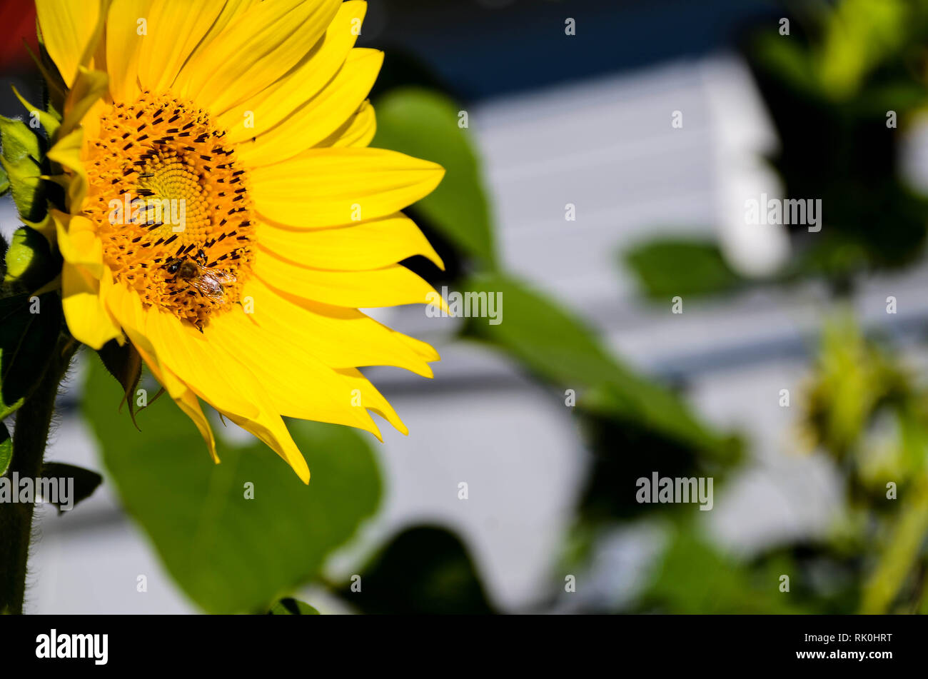 Side view of sunflower with blurred background - Stock Image