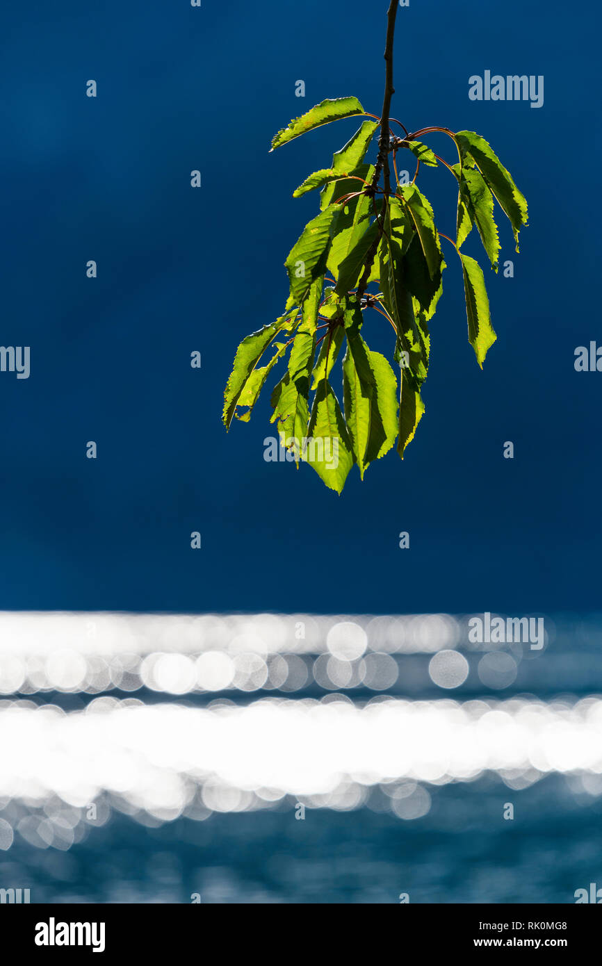 Green leaves on tree branch in front of glistening water - Stock Image