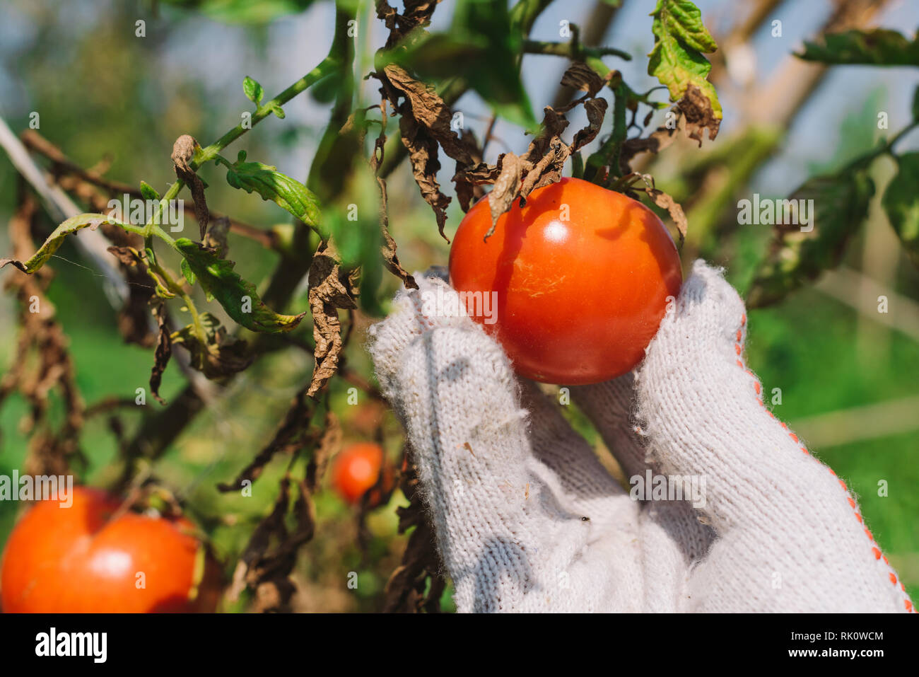 Hand picking tomato in organic vegetable garden, close up Stock Photo