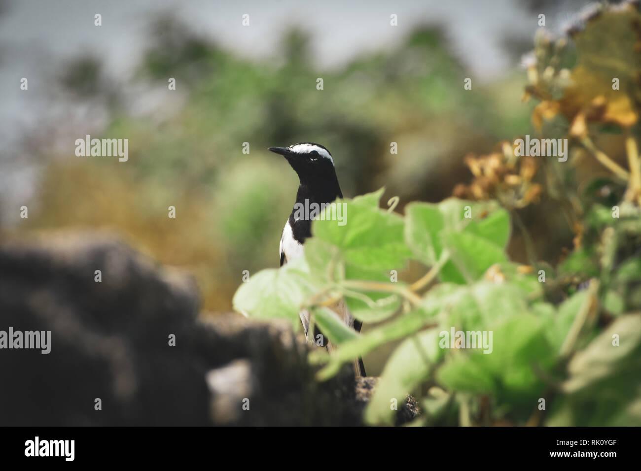 indian birds - Stock Image