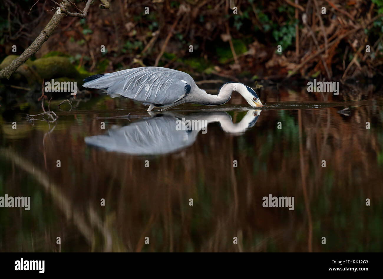 Grey Heron study - Endcliffe Park, Sheffield, Yorkshire - this bird was watched closely for an hour wading stealthily through the pool for fish - Stock Image