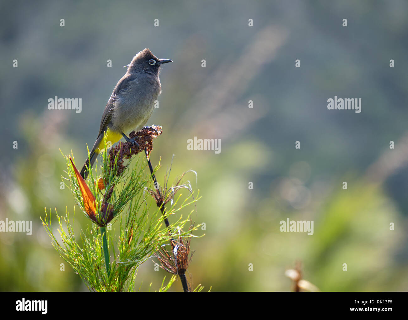 South african Cape Bulbul standing on top of dried bush. Sideway view with blurred background Stock Photo