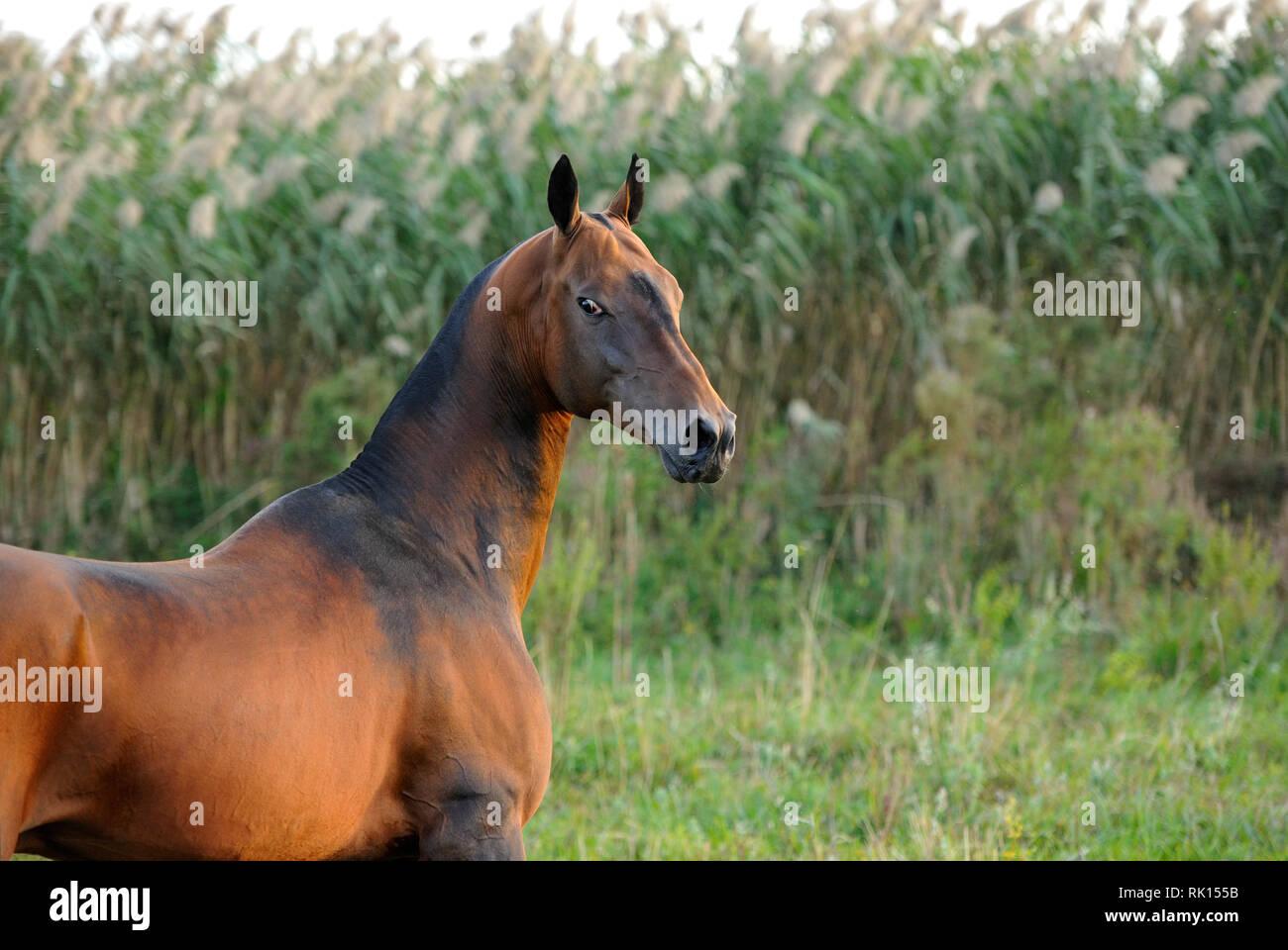 face,akhal teke,animal,background,bay,beautiful,beauty,bony,brown,close up,coat,cute,equestrian,equine,eye,eyes,head,horizontal,horse,intelligent,look - Stock Image