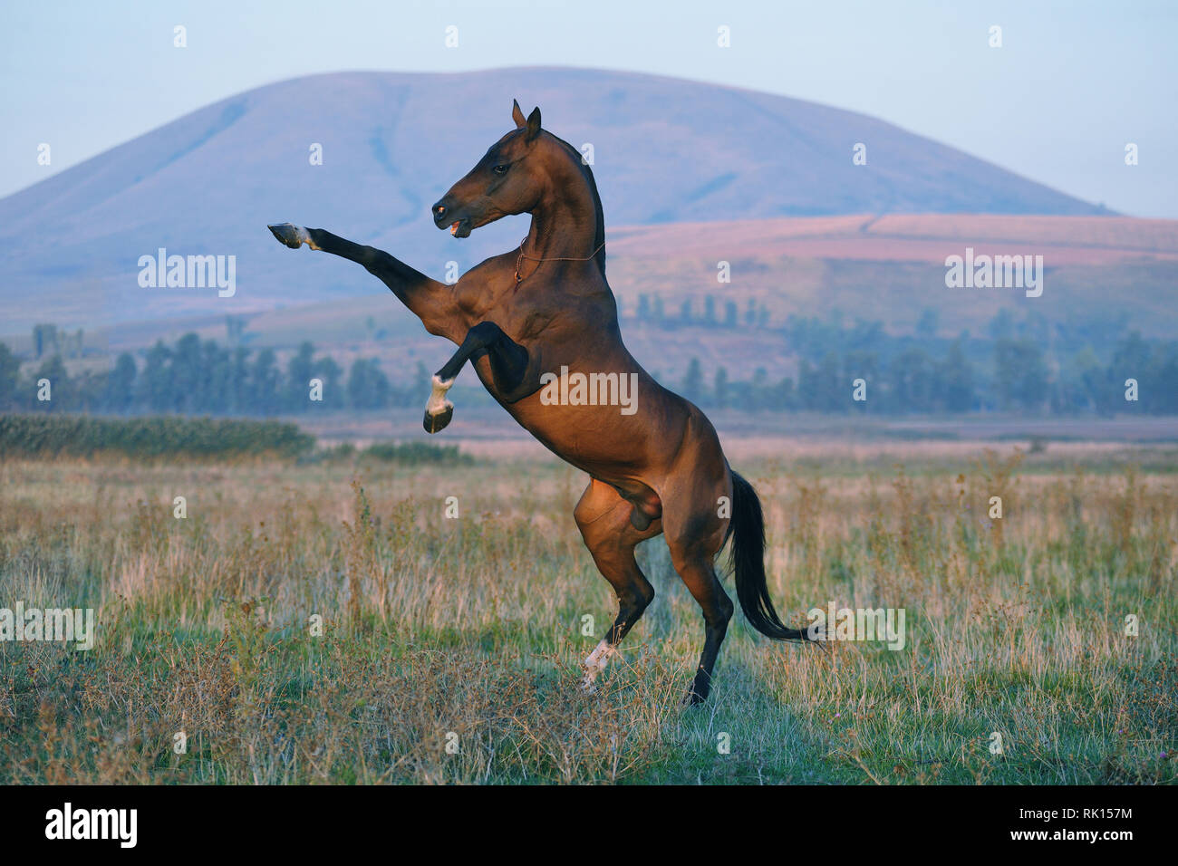 Fierce and brutal Akhal-Teke stallion rears standing on one leg. Horizontal,sideways, mountain on the background. - Stock Image
