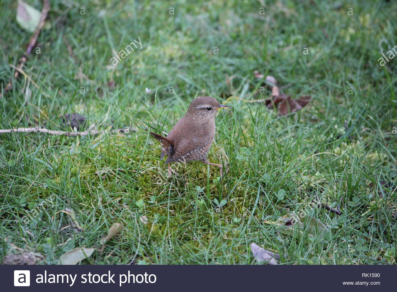 European Wren (Troglodytes troglodytes) collecting moss for nest-building in a park at Bocholt, Germany. - Stock Image