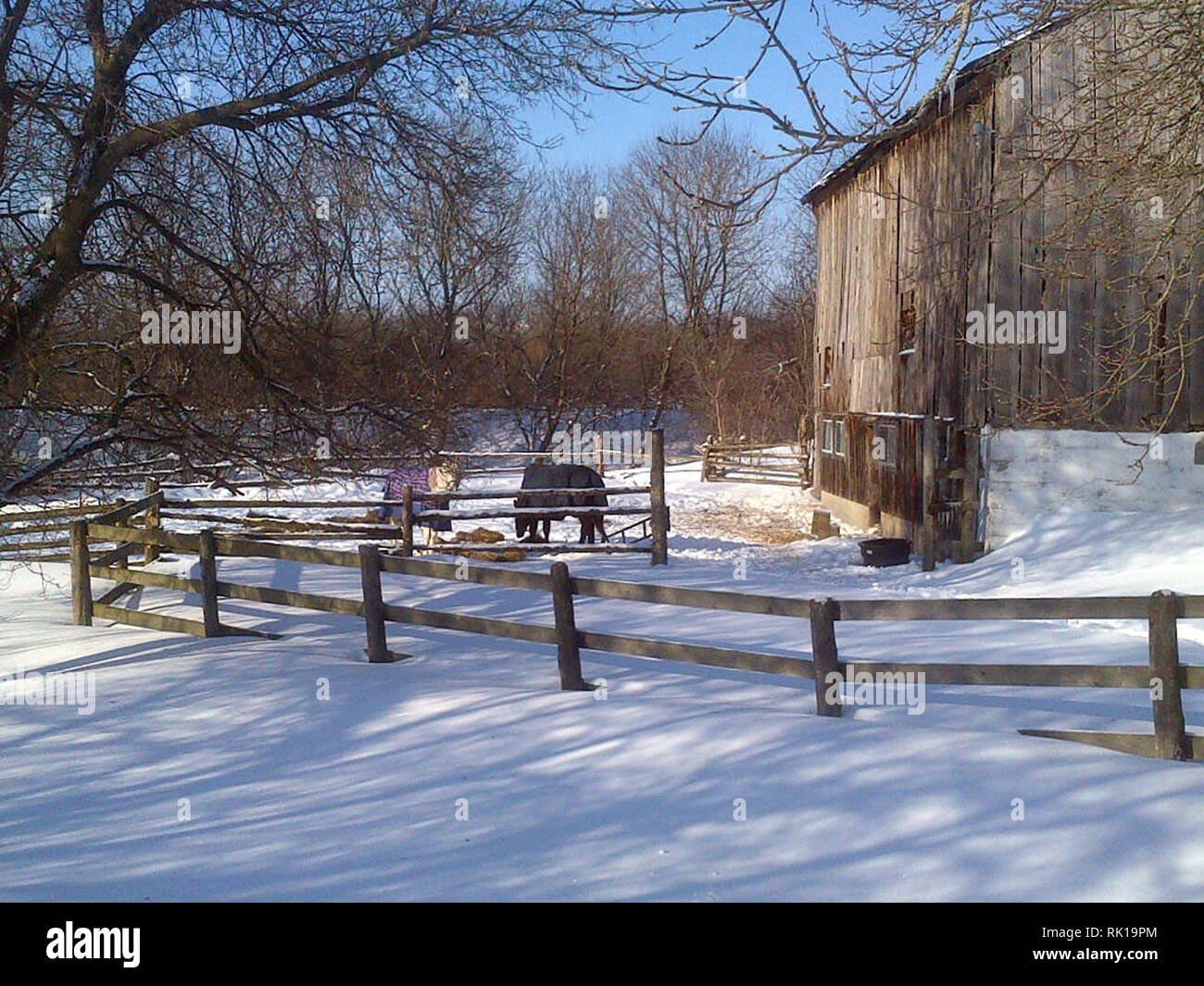 Two horses eating in winter barnyard - Stock Image