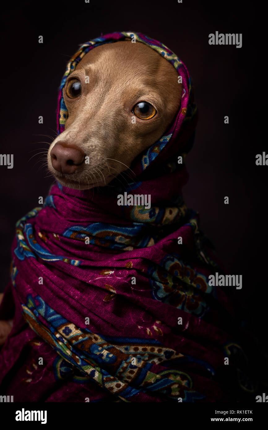 Italian Greyhound dog with Arabian Hijab. In studio with dark background. Arabic - Stock Image