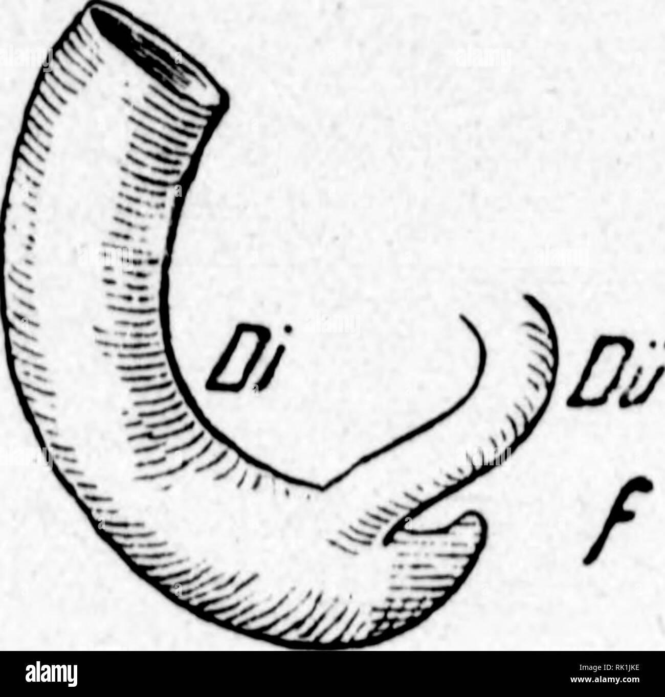 ". Arthur and Fritz Kahn Collection 1889-1932. Kahn, Fritz 1888-1968; Kahn, Arthur David 1850-1928; Natural history illustrators; Natural history. S15&. 6. JRücTdilbunfl hc^ 5>Iinbbirnt^. a iMinbbarm Beim 3?iefcn(änQuru^ b ^albnffcrt, c Ornnß, d men[cf)Uc^en 6mbil)o, e cc»üact)feiien äJienfdien, f bei bcc AlaVe. Oiait) äxJtcberööeim unb Mlaatfct).) bretö"" leidjt übetjeiigen lann, bcn 5D^agen um ba^ 3cf)nfQrI)e fe.ne^ 33innenraumeg. 33ei bcn 33euteltiercn, bie mir 511 ben bireften 3Sorfo{)reri be^ SOJcnfcljen rccl)ncii müifcn, crreidjt et in ein5elneu gäücn boö iSoppclte ber Sörperlä - Stock Image"