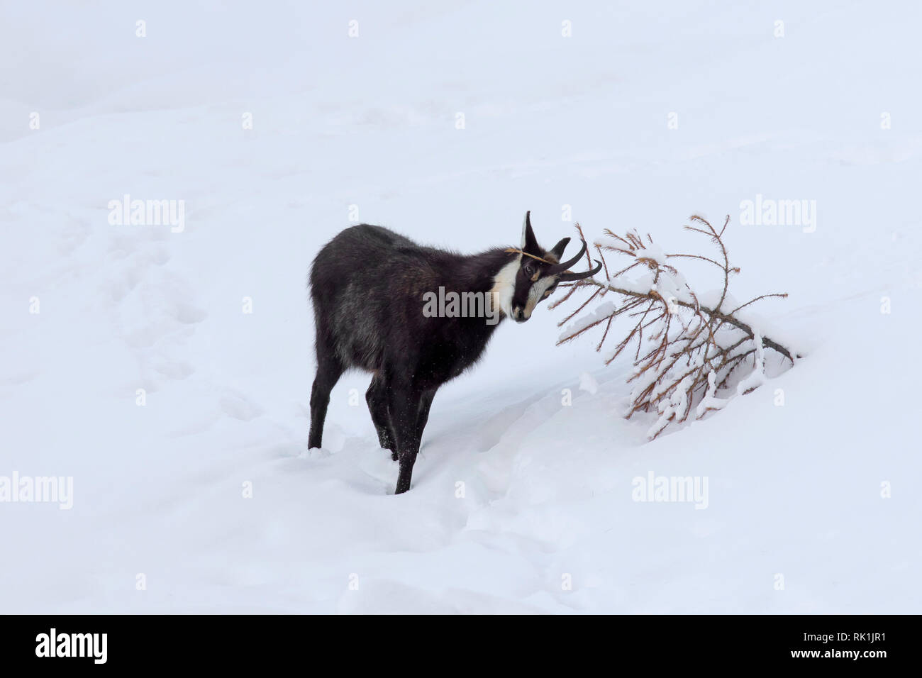 Chamois (Rupicapra rupicapra) male rubbing antlers against pine tree in the snow in winter during the rut in the European Alps - Stock Image