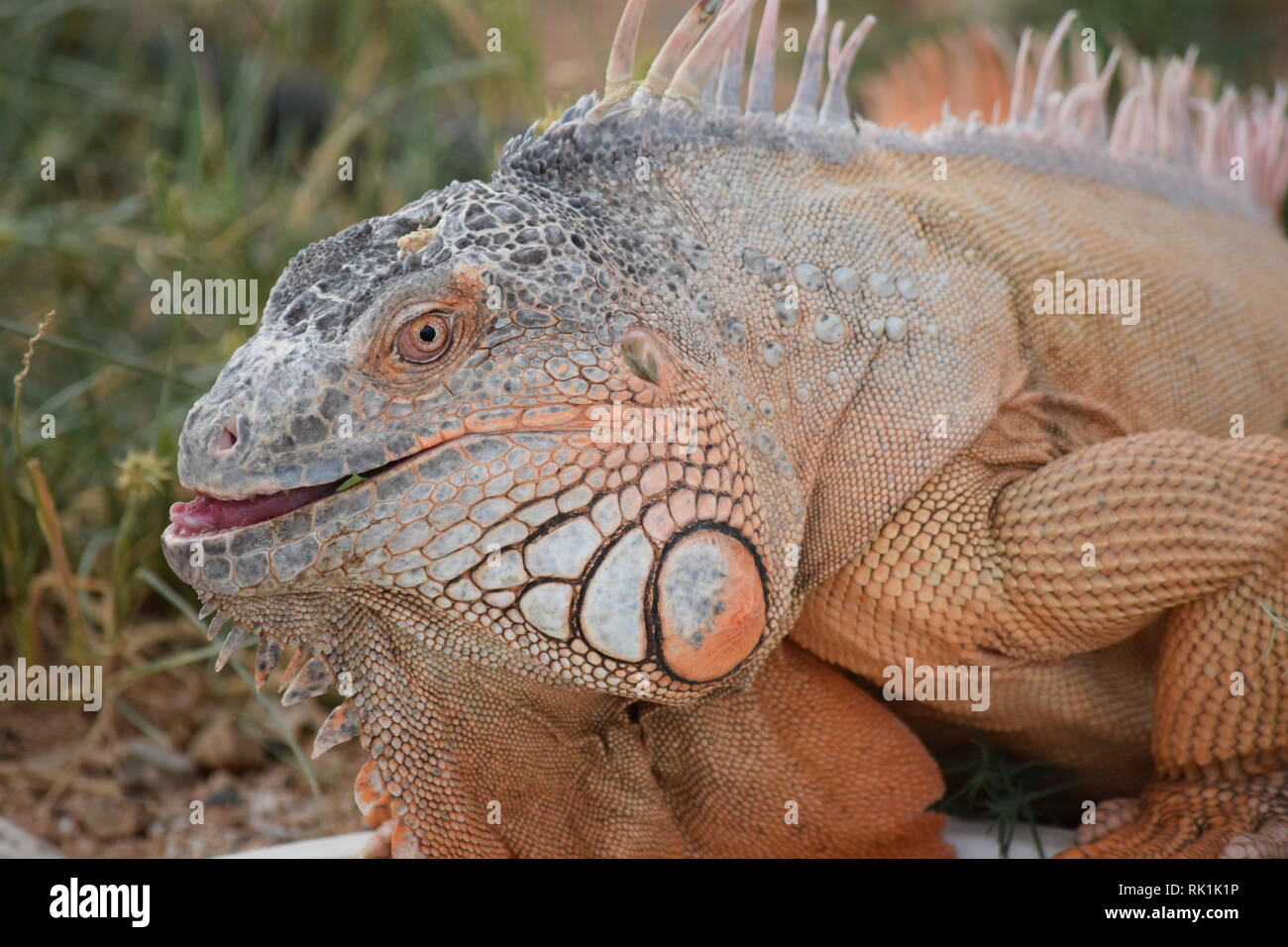 A huge lizard ponders his next meal at the Out of Africa wildlife sanctuary in Arizona - Stock Image
